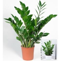 Photo of Zamioculcas,1 Pflanze