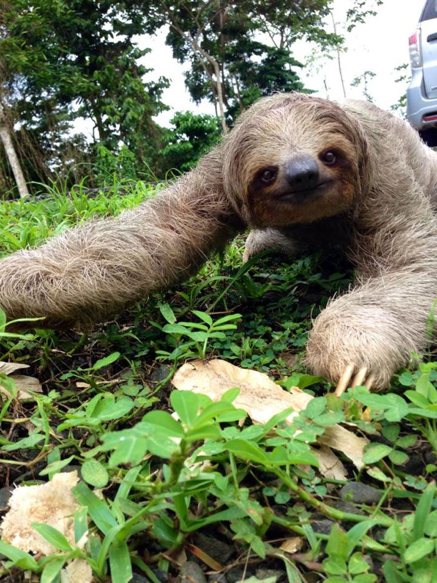 Sloth going to the bathroom - Man Finds A Sloth In The Middle Of The Road And Rescues It