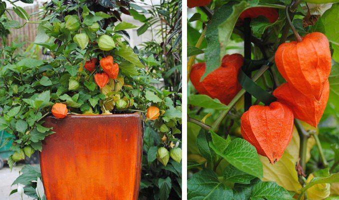 chinese lantern flower arrangement | Chinese Lantern Plant ...
