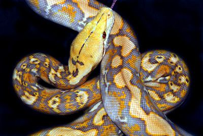 http://www.thefeaturedcreature.com/2012/05/major-morphs-lavender-albino-retic.html?utm_source=feedburner_medium=email_campaign=Feed%3A+FeaturedCreature+%28Featured+Creature%29#axzz1v6Bj9xWt  lavender albino reticulated python