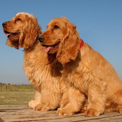 English Cocker Spaniel Dog Breed Information English