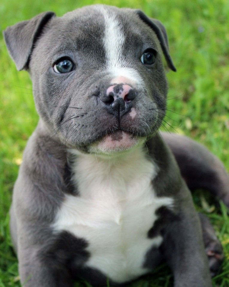 Pin On Bluefirepits Blue Pitbull Puppies For Sale Blue Nose Pitbull Puppies For Sale