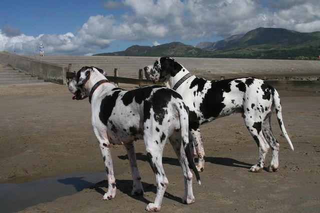 33235671252 By Ericinwalesthe Great Dane Was Originally Bred To