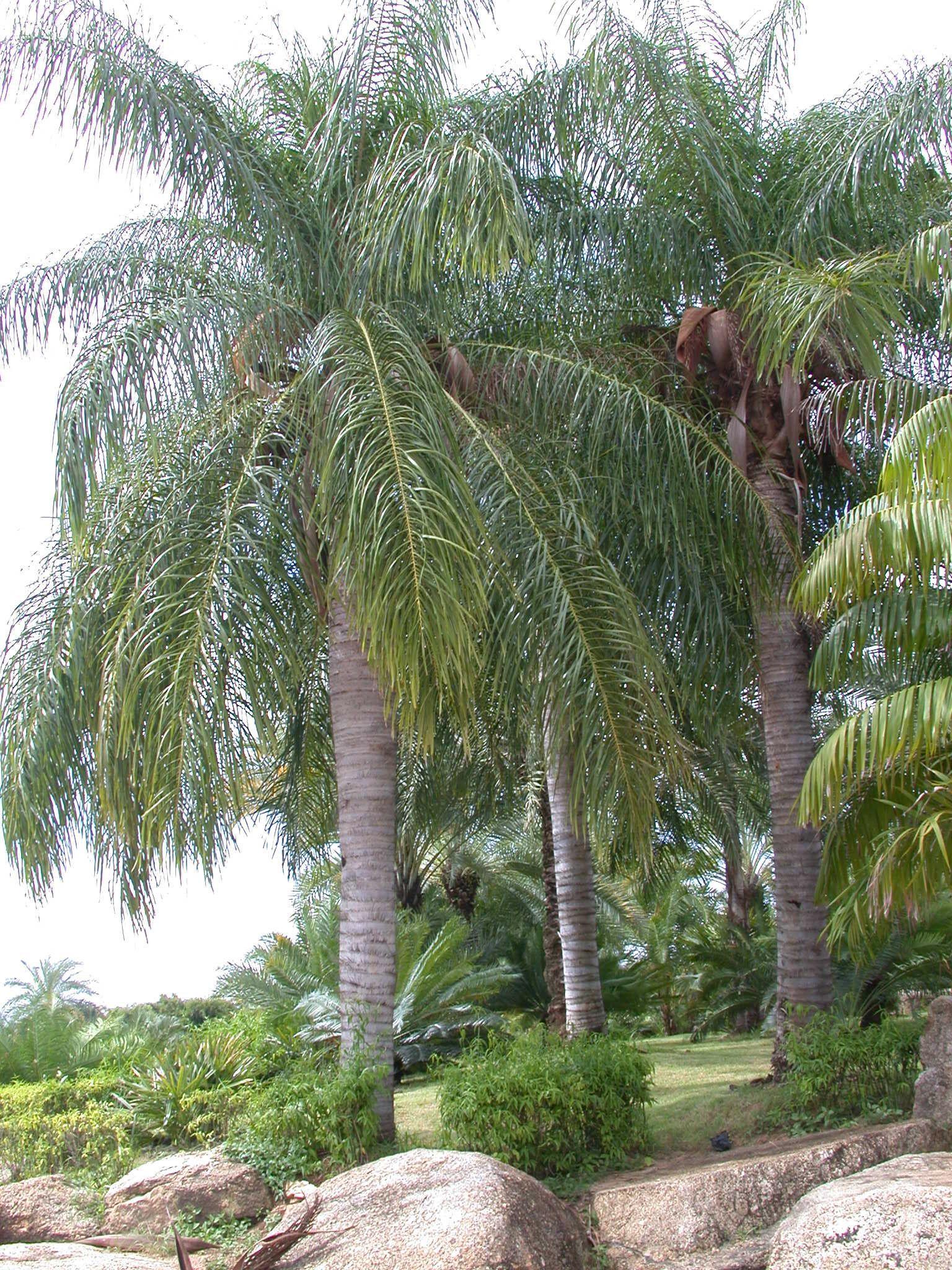 Acrocomia Aculeata Palms In Thailand