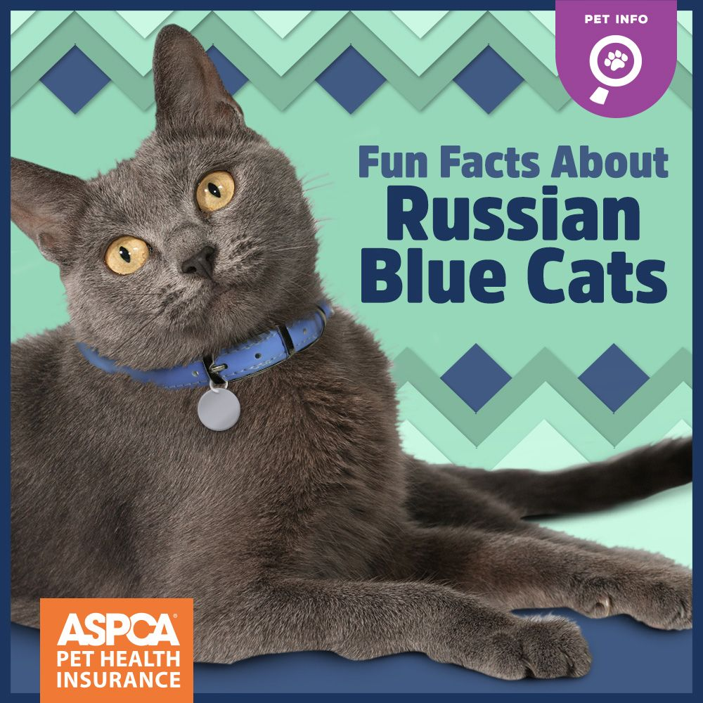 Fun Facts About Russian Blue Cats Russian blue, Blue