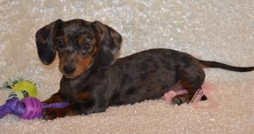 Adult Miniature Dachshund Wp13671 Two Miniature Dachshunds