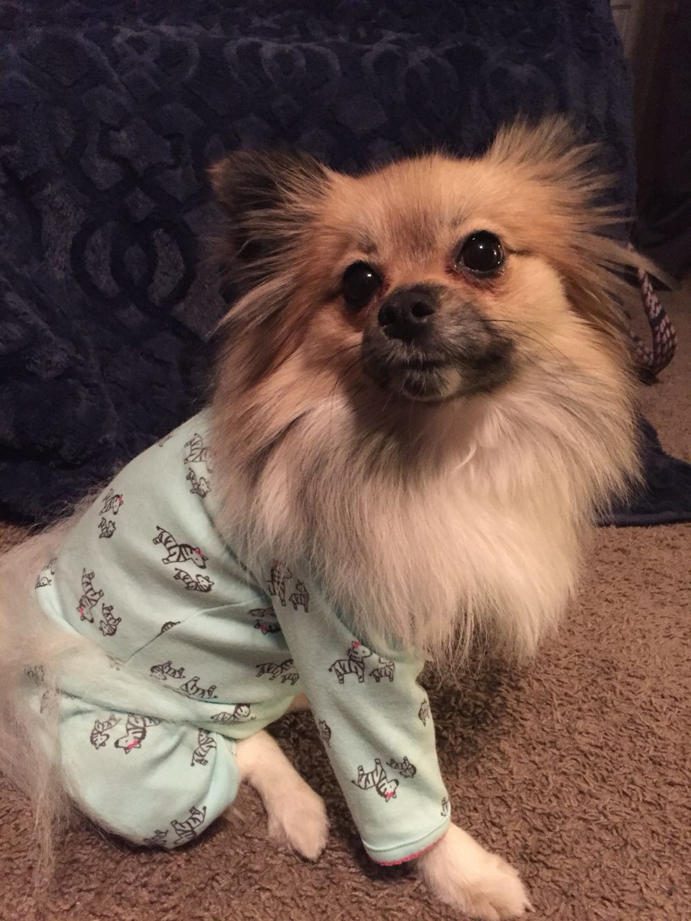 Lily the Pom in her PJ's!
