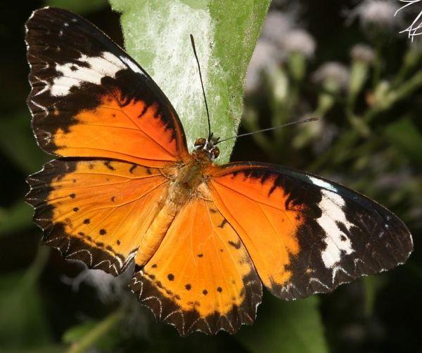 Leopard lace wing butterfly. .