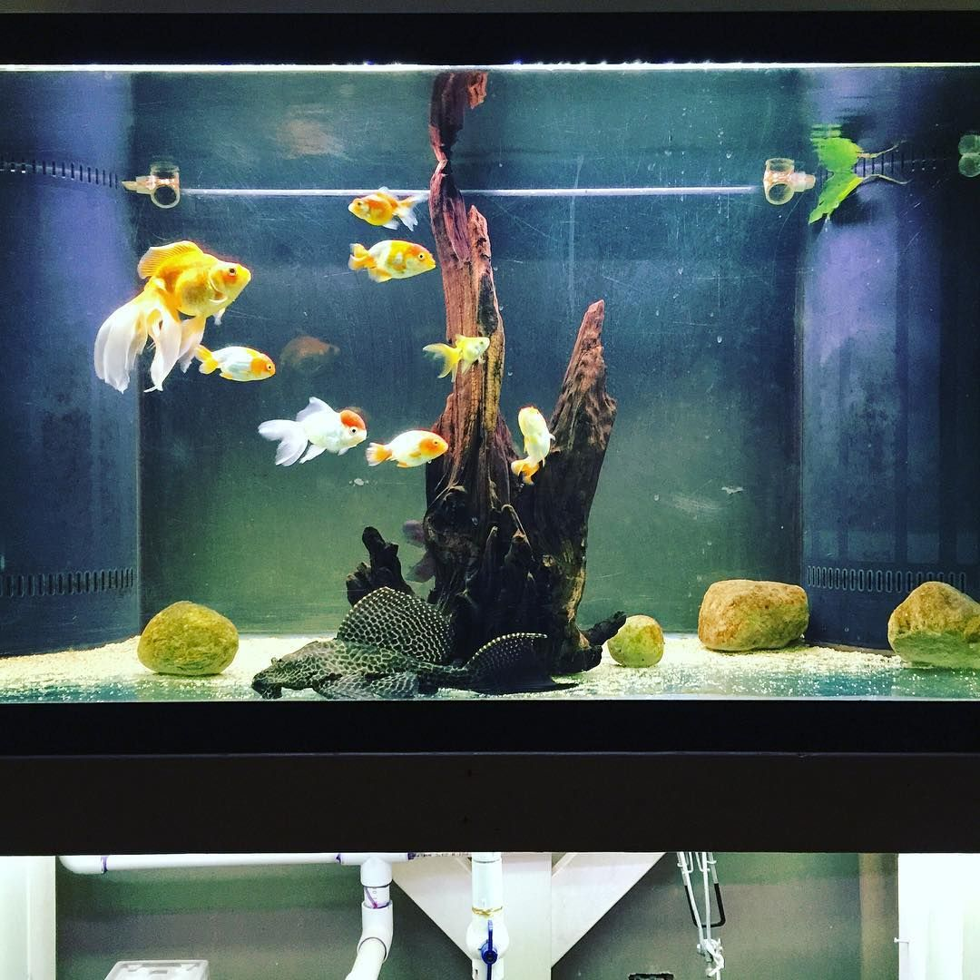 Repost Of My 150 Gallon Goldfish Gdfishunion Gold Goldfishjunkie Ranchu Oranda Pearlscale Fantail Blackmoo Goldfish Goldfish Tank Cute Animal Pictures