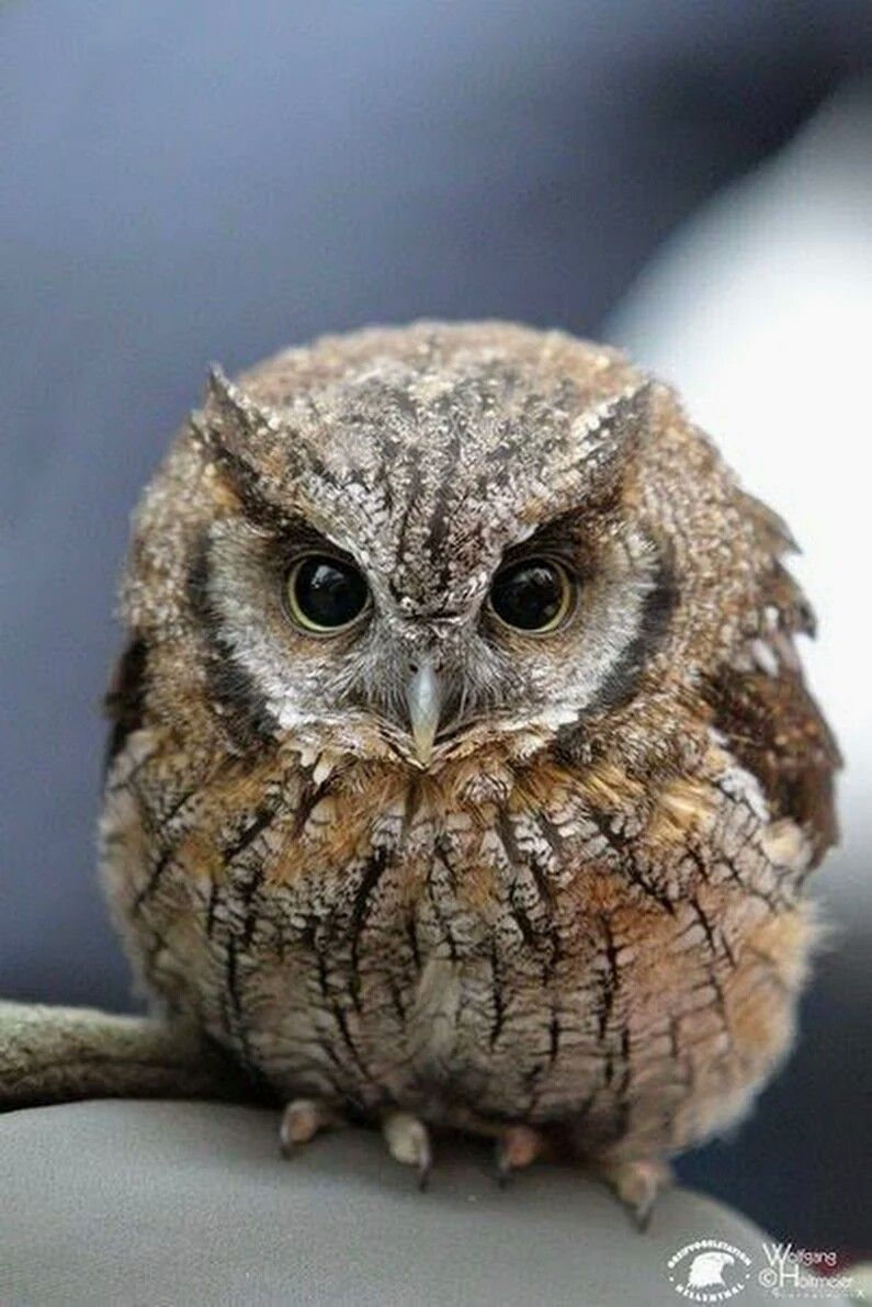 Owls image by Max Wildwood | Screech owl, Owl, Owl photos