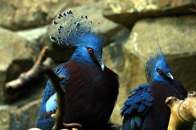 حمامة فكتوريا المتوجة أكبر حمامة في العالم مكان هذا الحمام الأصلي هو غينيا الجديدة وعدد قليل من الجزر الواقعة قبالة سواحلها وعادة ما تأك Image Victoria Animals