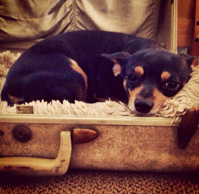 Tilly the Chiweenie in her vintage suitcase bed.