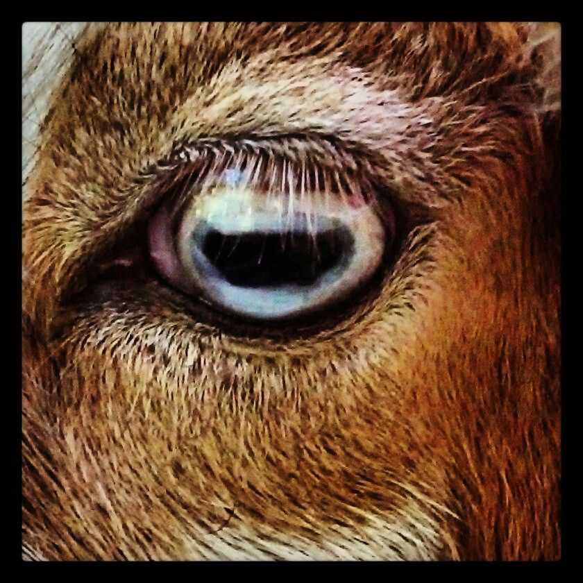 Goat has it's eye on you at North Zoo home of
