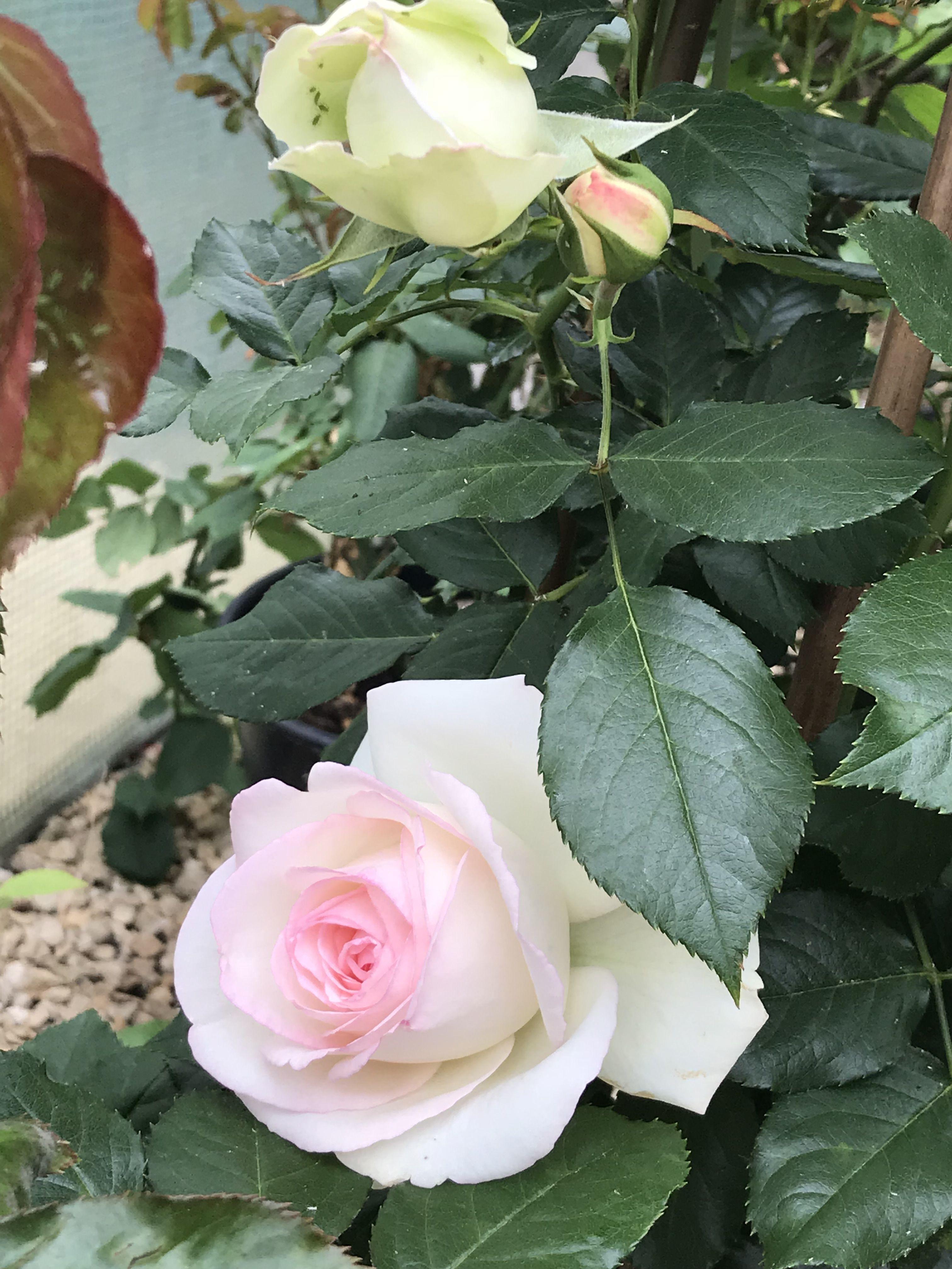 Rosier 'Blanc Pierre de Ronsard' rosier roses jardin