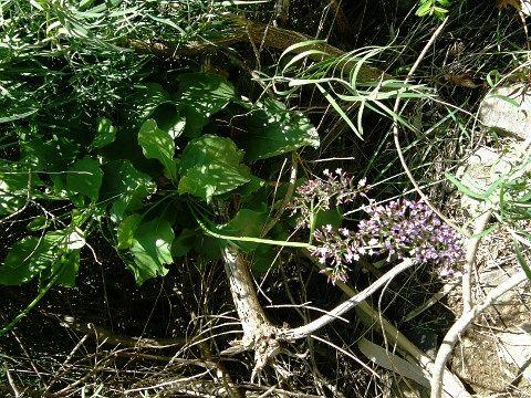 Limonium sventenii   El Sao. Gran Canaria