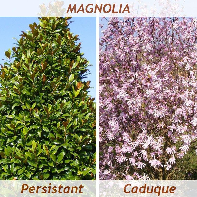 magnolia persistant et caduc magnolias pinterest arbuste et jardins. Black Bedroom Furniture Sets. Home Design Ideas