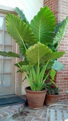 Die Elefantenohr Pflanze wird Ihren Außen- und Innenbereich toll aufpeppen #elephantearsandtropicals