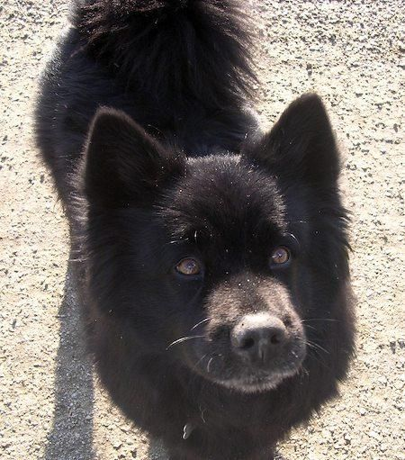 Moonshadow The Chow Lab Mix I Am Extremely Partial To Chow Mixes