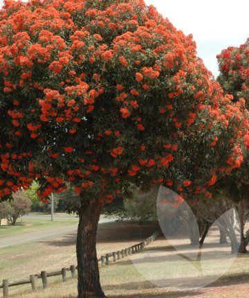 Corymbia Ficifolia Wild Sunset Red Flowering Gum Library Speciality Trees Australian Garden Native Garden Landscaping Inspiration