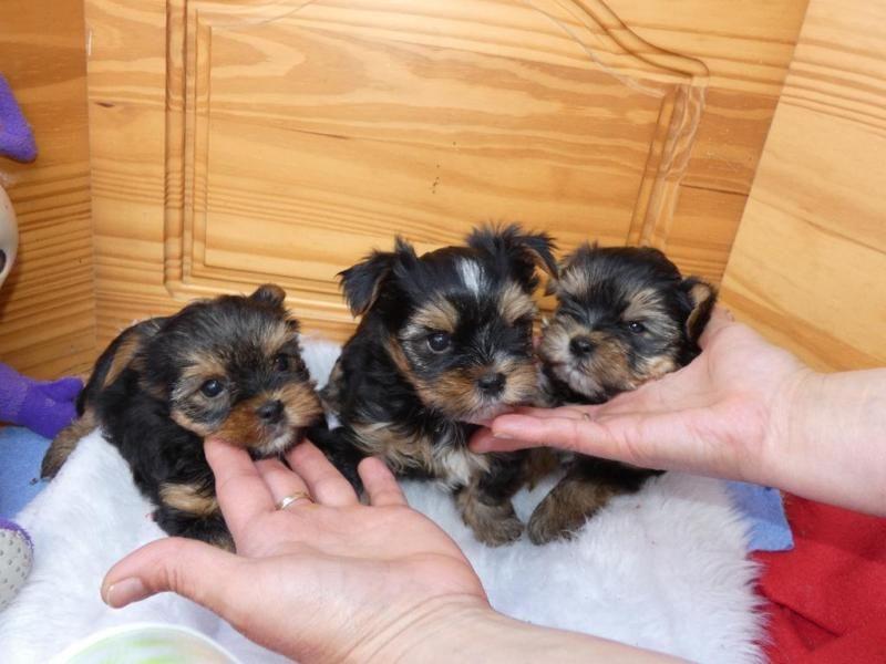 Wunderschöne reinrassige Yorkshire Terrier Welpen, 2 Jungs