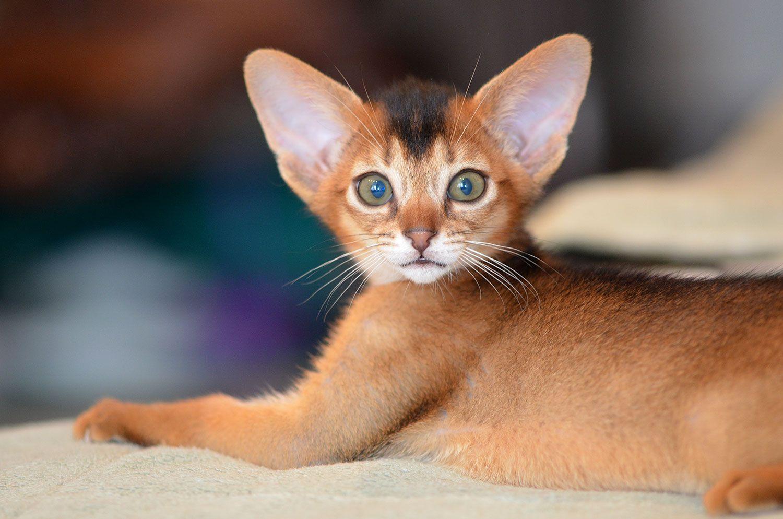 Abyssinian kitten www.superaby.ru Abyssinian cats