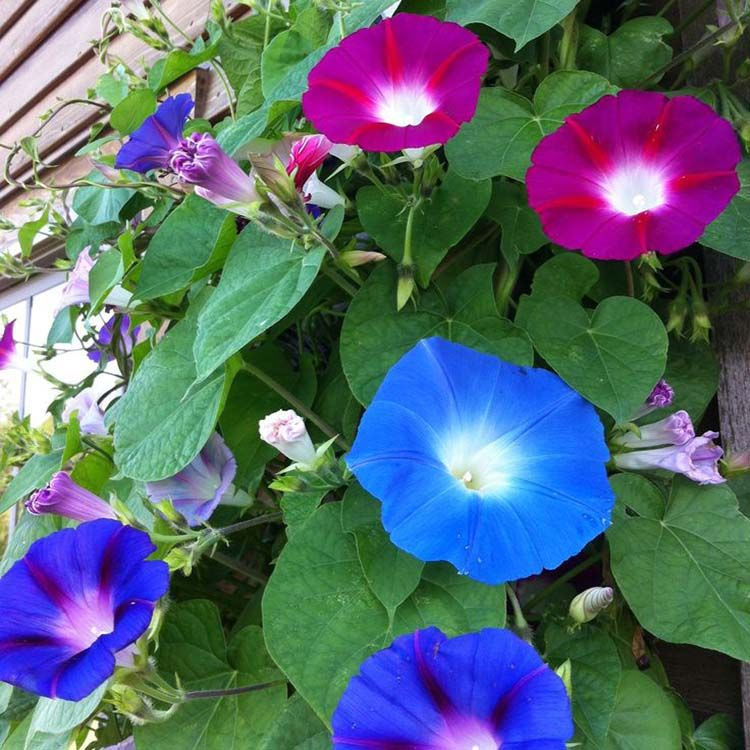 80 Morning Glory Seedsipomoea Seedsipomoea Spring Etsy In 2020 Morning Glory Flowers Garden Vines Beautiful Flowers