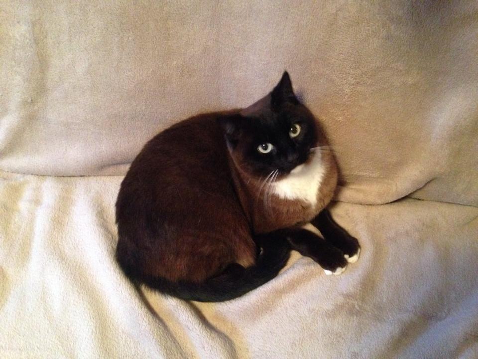 Pudding Cat | Pawshake West hobart