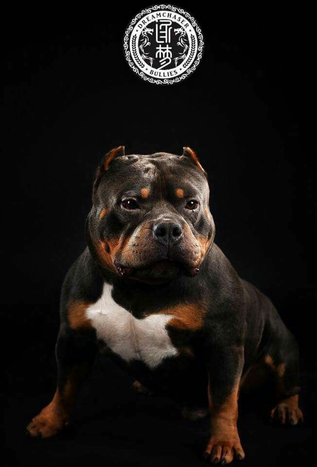 Beautiful From China With Images American Bully Bully Breeds