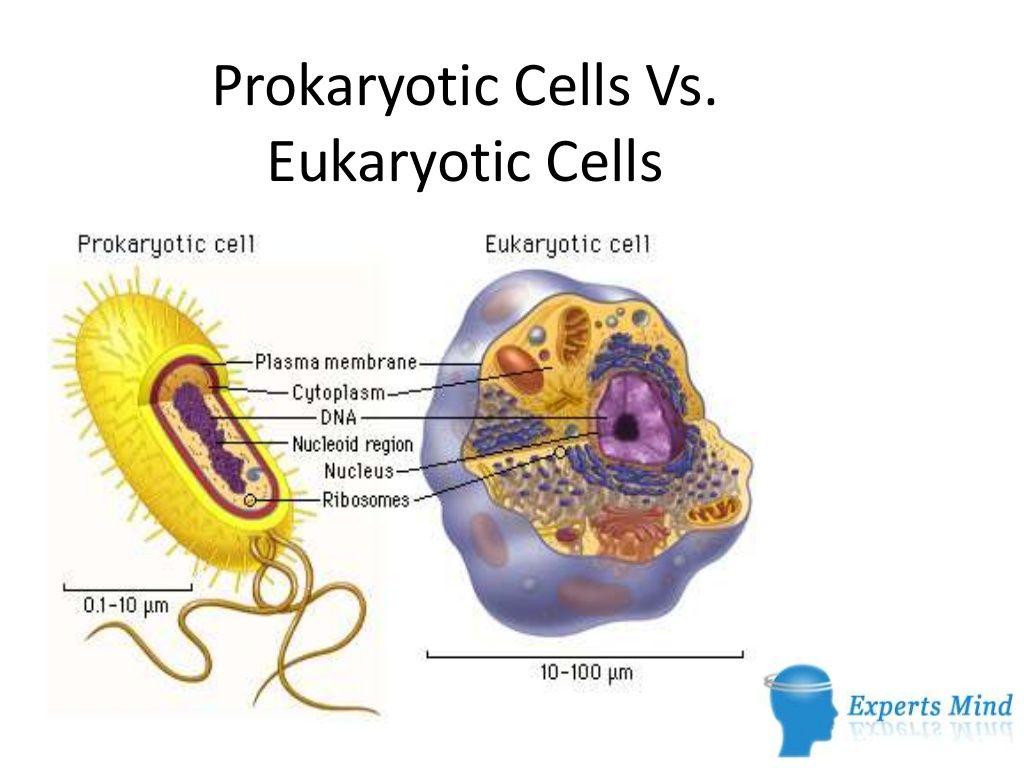 Prokaryotic Cells Vs Eukaryotic Cells By Expertsmind It