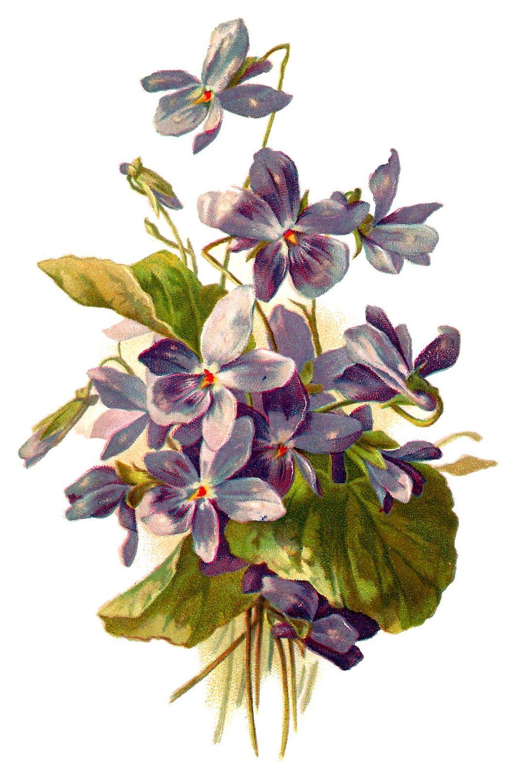 Violet Flower Download Free Image Botanical Illustration