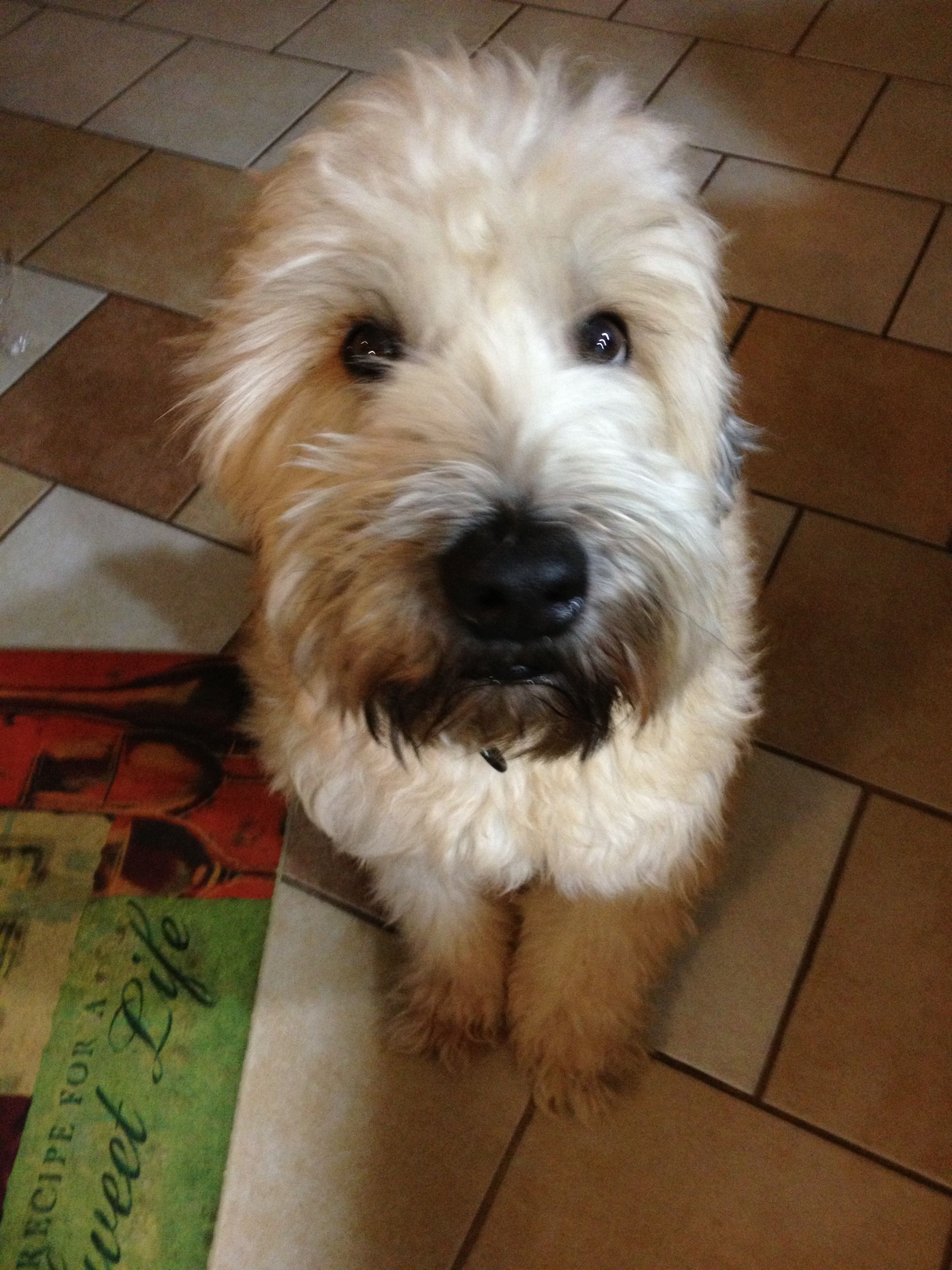 This Is Bristol He Is 3 Years Old He Is A Soft Coated Wheaten