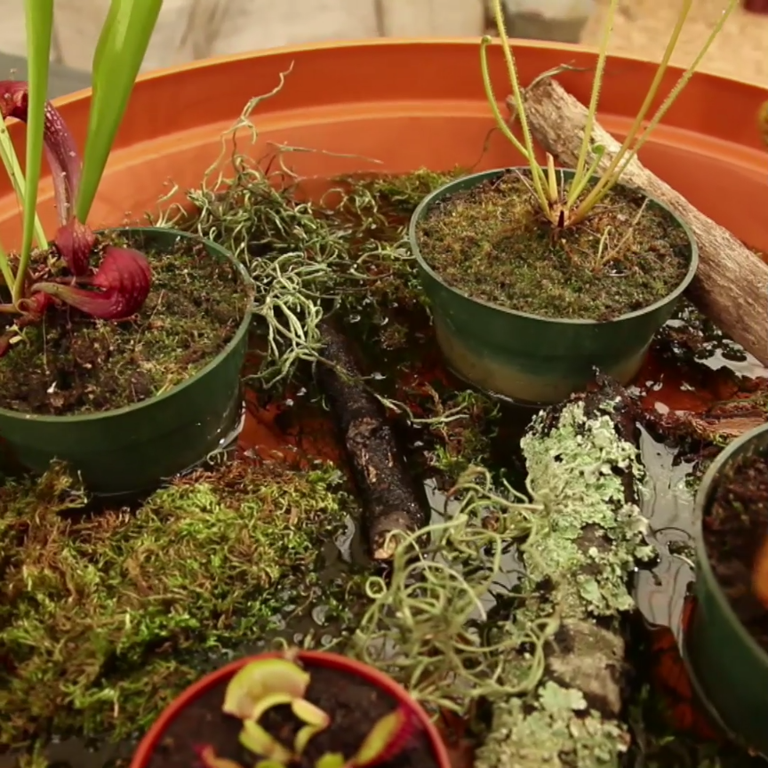 Photo of Create a Carnivorous Plant Garden