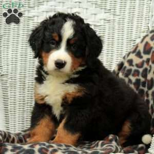 Bernese Mountain Dog Puppies For Sale Greenfield Puppies Dogs And Kids Bernese Mountain Dog Puppy Bernese Mountain Dog