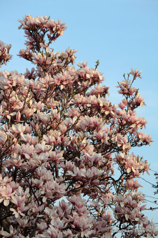 Magnolia Soulangeana Flowers Wwwbarchamcouk Tree Blossom In The