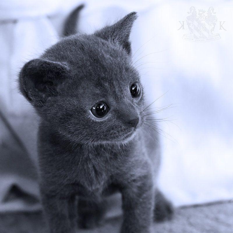 Hello There By Beregond3019 Deviantart Com On Deviantart Korat Cat Pretty Cats Korat