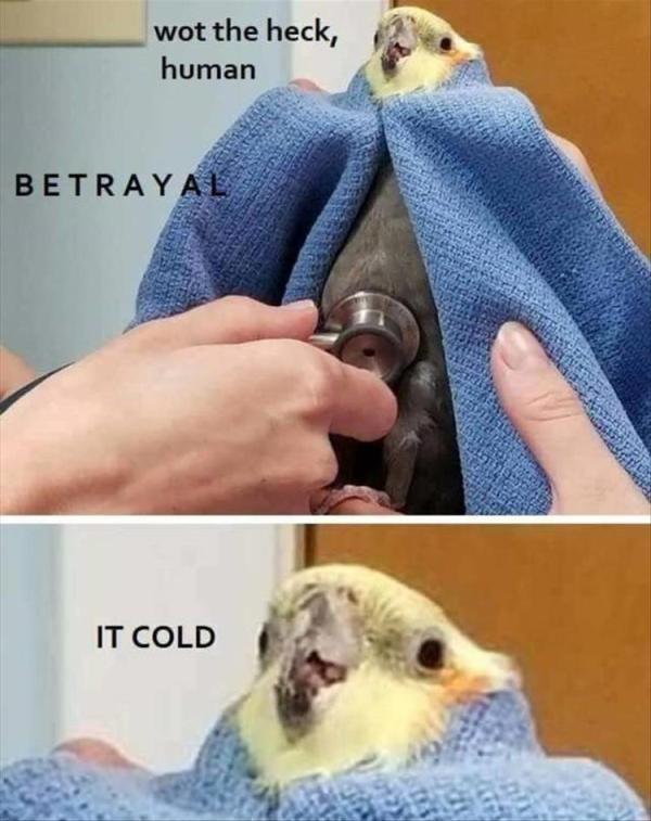 Parrot Budgerigar Bird Cockatiel Meme Internet Meme Humour