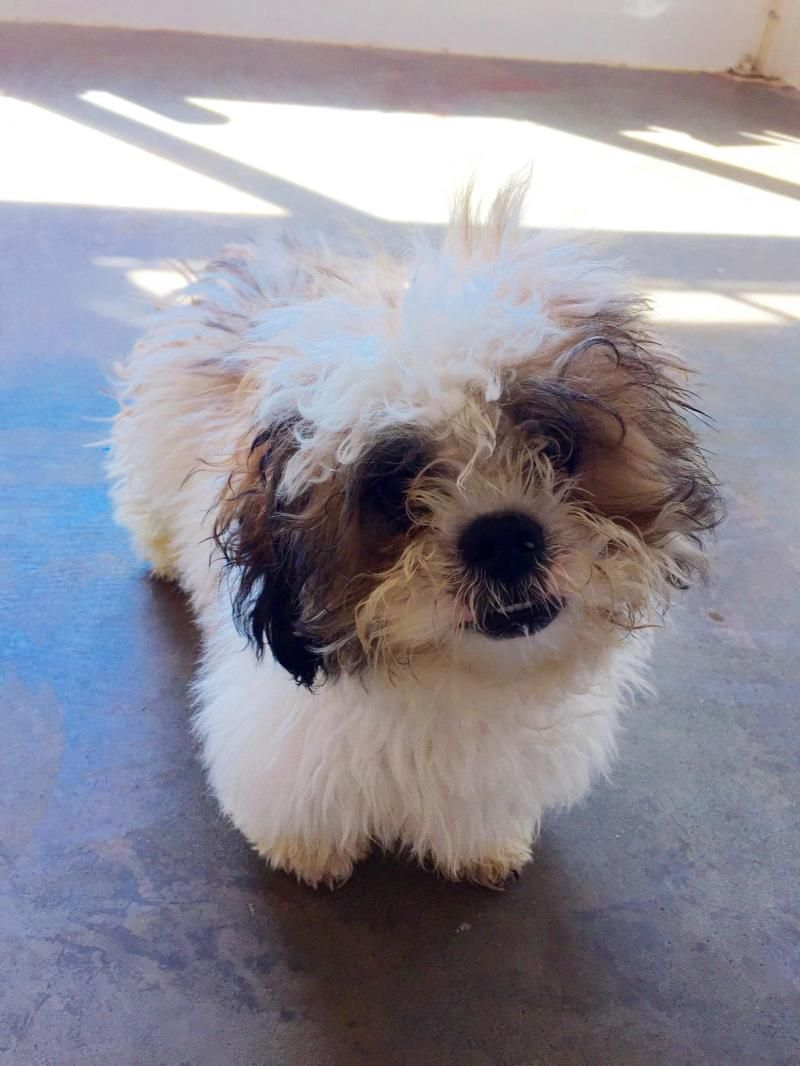 Adopt Einstein On Poodle Mix Dogs Dogs Shih Tzu Poodle Mix