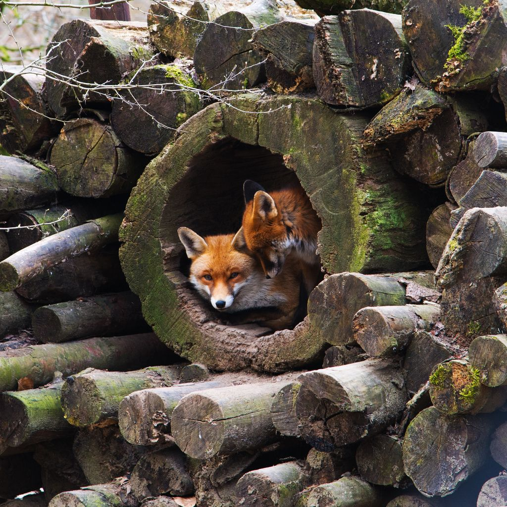 Red Foxes In A Hollow Log