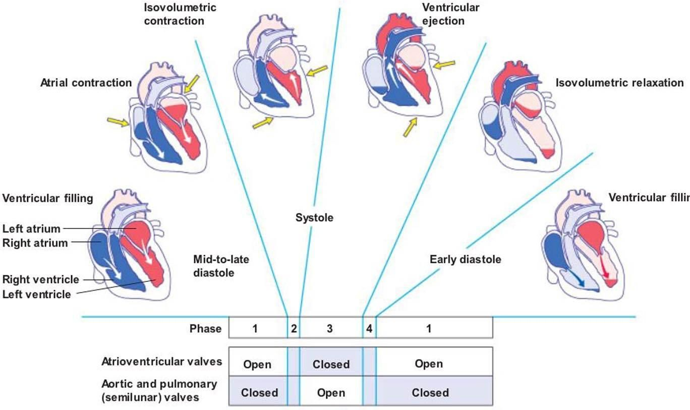 Image cardiaccycle for term side of card love being a vet tech helpful diagram for systole and diastole pooptronica