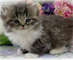 Napoleons Kittens Cute Cats Munchkin Kitten