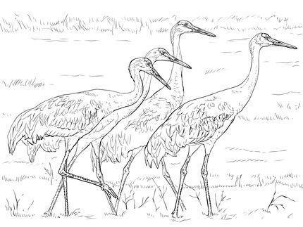 Click To See Printable Version Of Four Sandhill Cranes Coloring