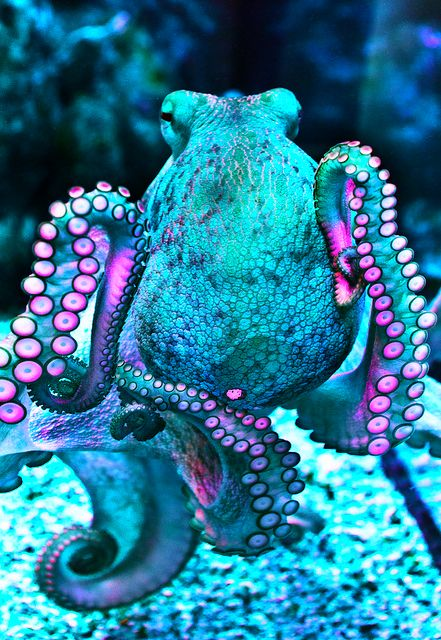 octopuses have 2 eyes and 4 pairs of arms and are bilaterally