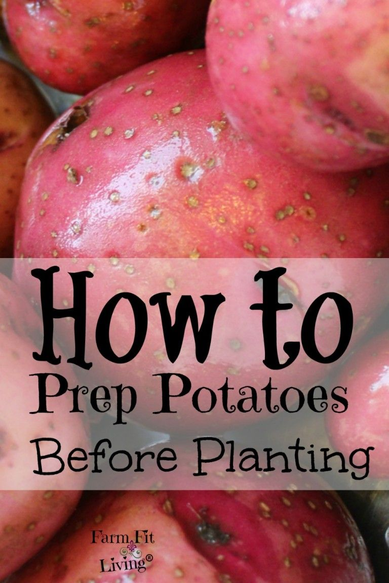 Potato Prep How to Prepare Your Spuds for Planting