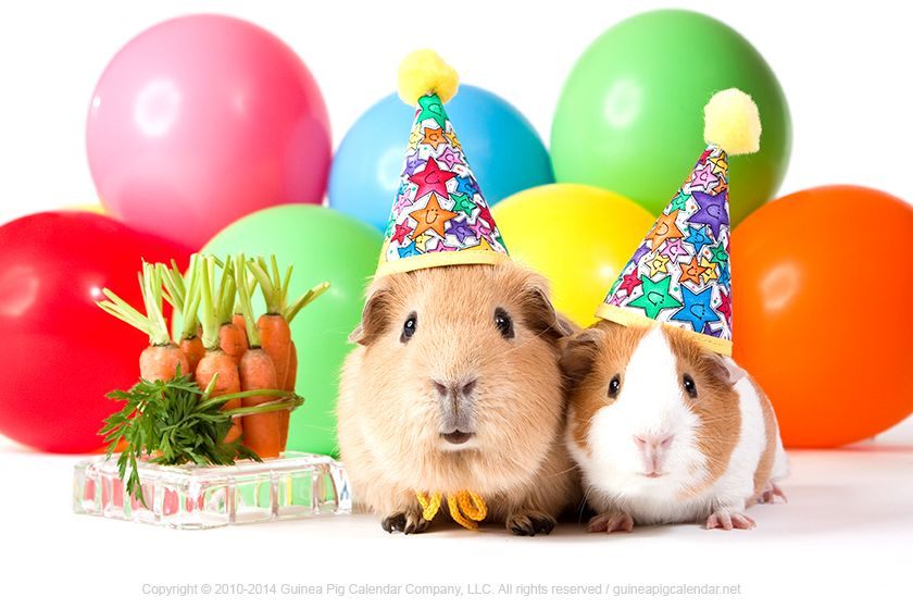 Happy Birthday wishes from the guinea pigs! #GuineaPigs