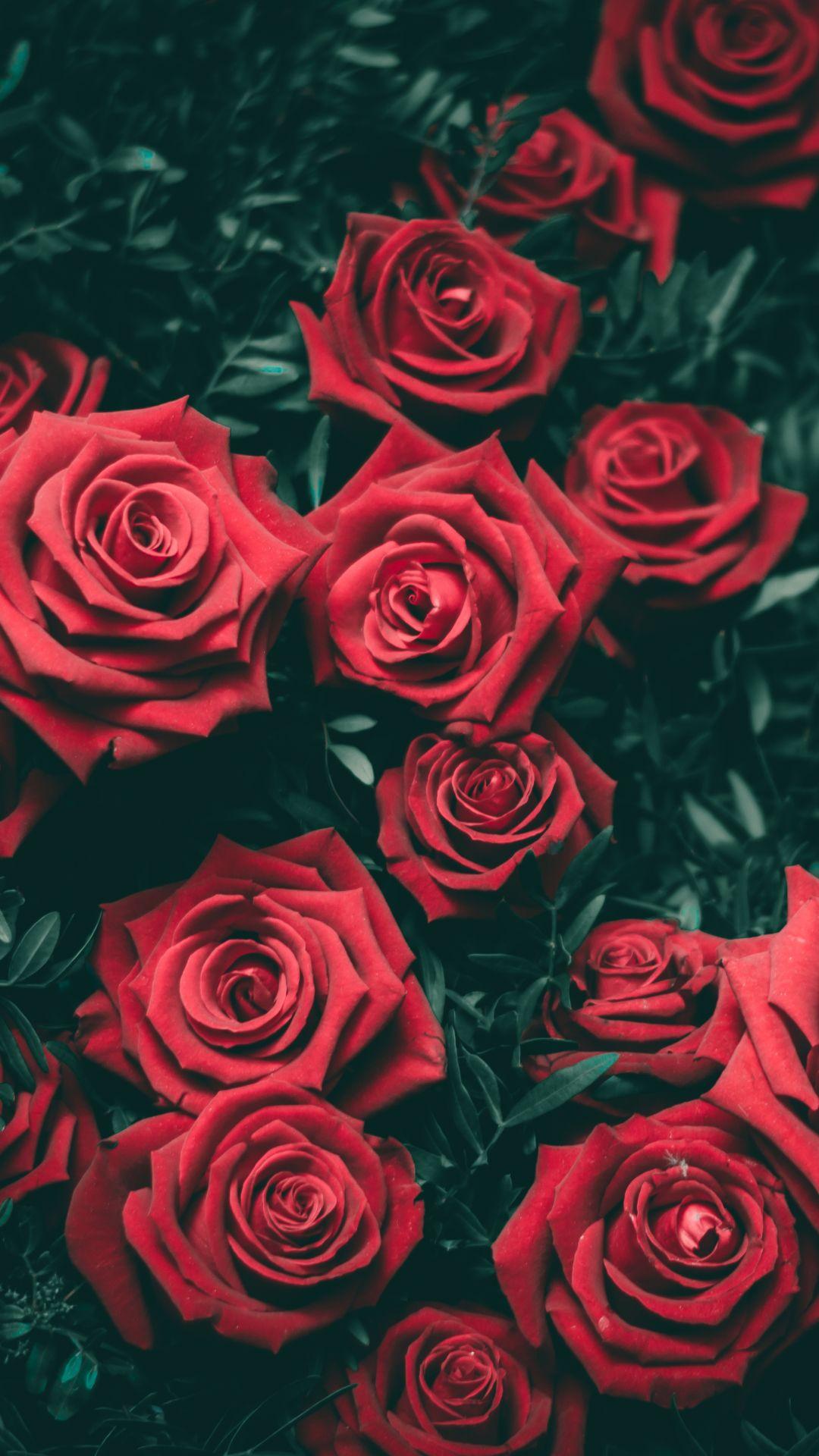 Hd Wallpaper 54 Red Roses Flowers Rose