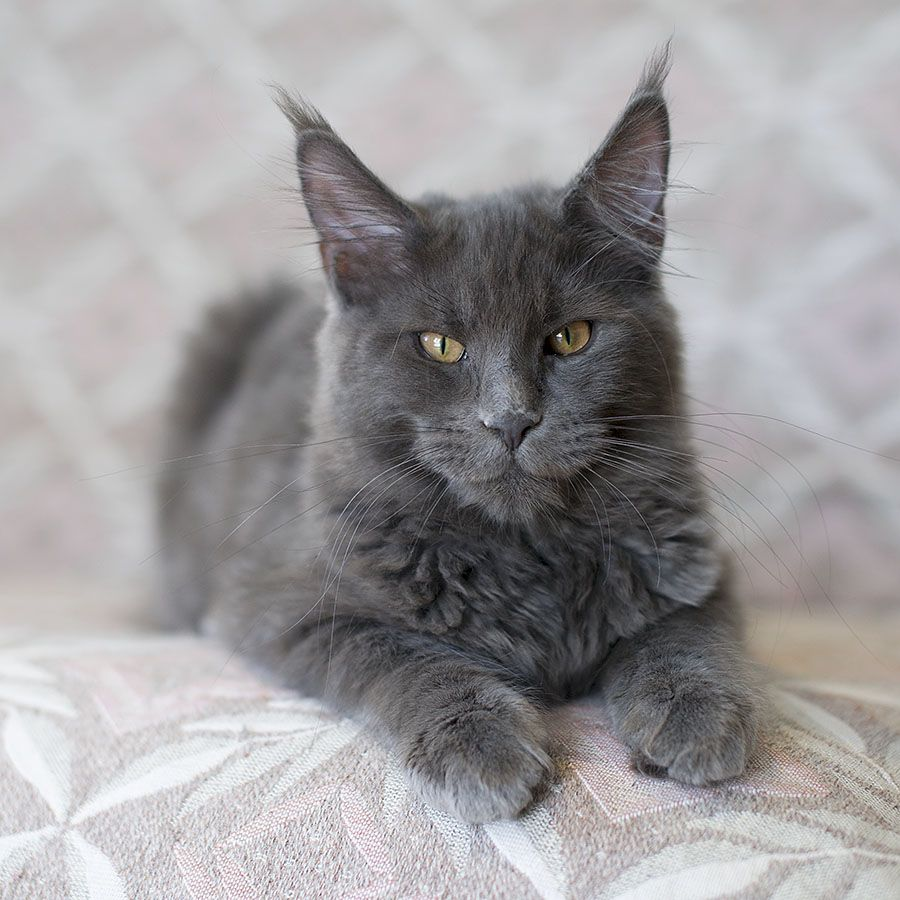 Maine Coon, Blue Solid (a). RELAXING TIGERS Hella *(D ...  Maine Coon, Blu...