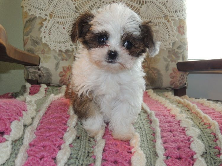 Willie Wonka Is Very Small Teddy Bear Shih Tzu Maltese Mix Puppy Also Known As A Maltishi Parents Are On The Smaller Size Puppies Cute Dogs Small Teddy Bears