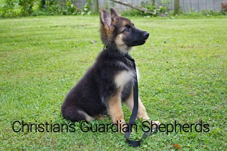 Black And Tan Plush Coat Male German Shepherd For Sale 1500 00