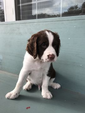Litter of 4 English Springer Spaniel puppies for sale in