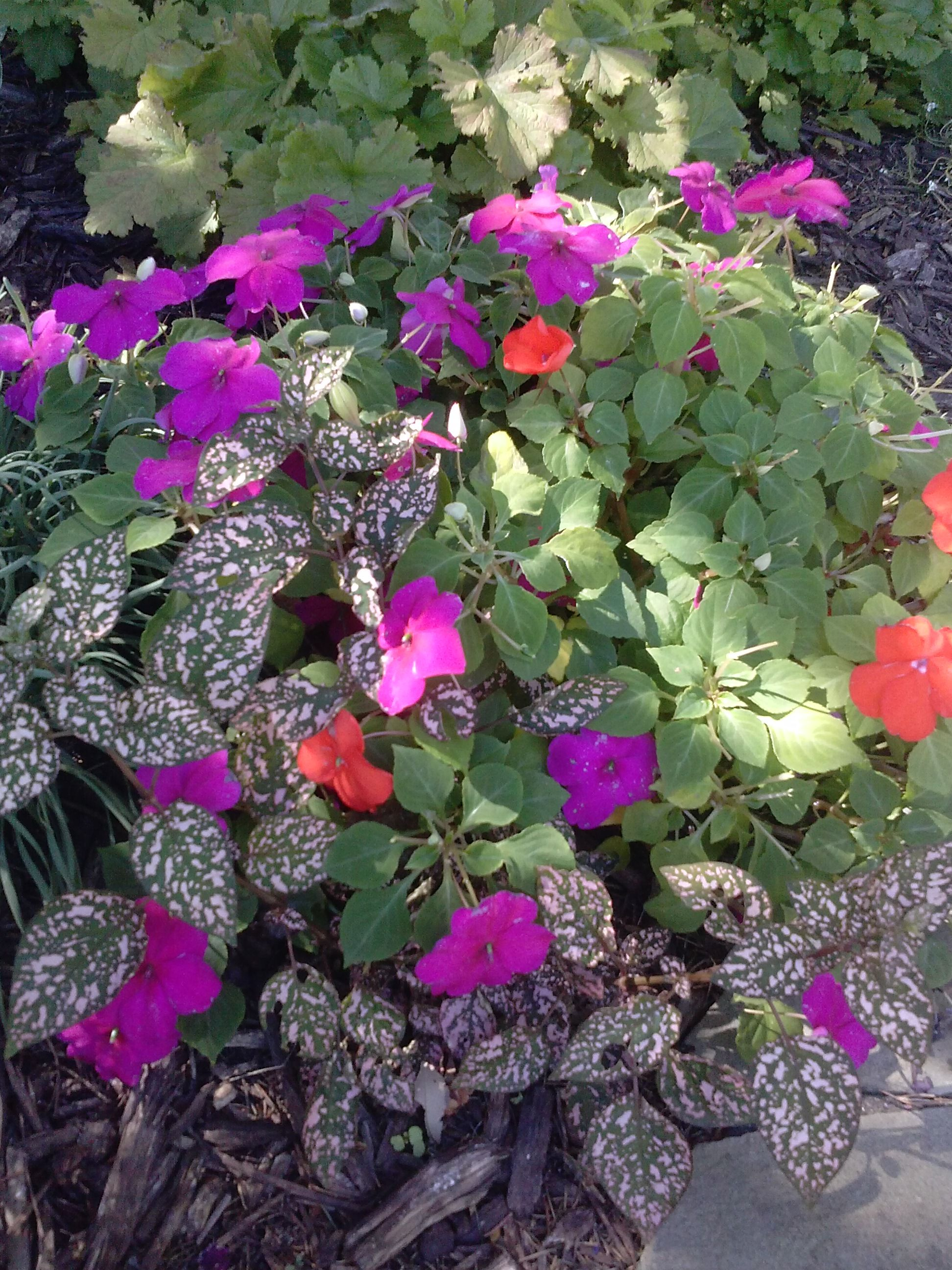 Impatiens And Polka Dot Plant All Mixed Up Flower Combinations